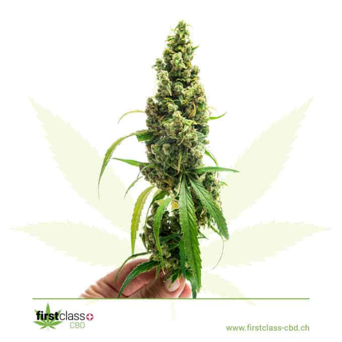 "Swiss ""firstclass"" Cannabis Indoor CBD ""GREEN ONE"" 1.7g - 10g 2"